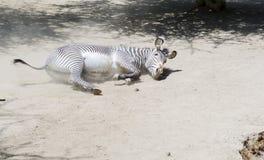 Портрет роста зебры полностью Стоковые Фото