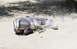 Портрет роста зебры полностью Стоковое Изображение RF