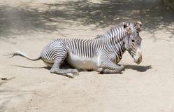 Портрет роста зебры полностью Стоковая Фотография RF