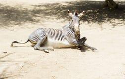 Портрет роста зебры полностью Стоковая Фотография