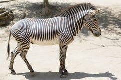 Портрет роста зебры полностью Стоковые Изображения RF