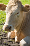 Портрет русой коровы лежа в траве Стоковое Изображение RF