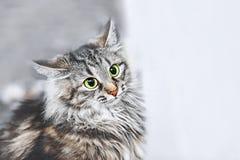 Портрет русских сибирских котов Нападения кота конец вверх скопируйте космос стоковое фото