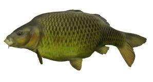 Портрет рыбной ловли карпа изолированный рыбами белый грубый Стоковые Фотографии RF