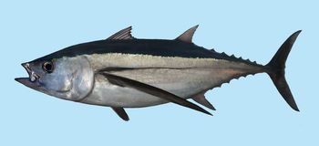 Портрет рыбной ловли тунца альбакора Стоковые Изображения