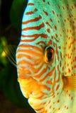 Портрет рыб диска Стоковые Изображения