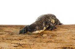 Портрет саламандра тигра стоковое изображение rf