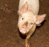 Портрет свиньи на ферме Стоковые Изображения