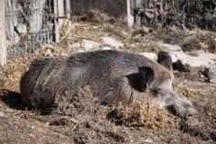 Портрет свиньи хряка одичалой спать на первом этаже в солнечном свете Стоковые Изображения