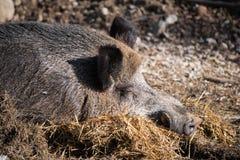 Портрет свиньи хряка одичалой спать на первом этаже в солнечном свете Стоковые Фотографии RF