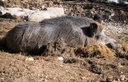 Портрет свиньи хряка одичалой спать на первом этаже в солнечном свете Стоковое Фото
