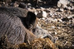 Портрет свиньи хряка одичалой спать на первом этаже в солнечном свете Стоковые Фото