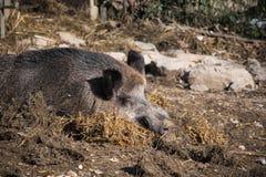 Портрет свиньи хряка одичалой спать на первом этаже в солнечном свете Стоковое Изображение