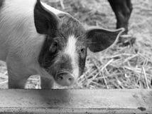 Портрет свиньи Стоковое Изображение