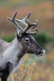 Портрет северного оленя головной в осени Стоковое Фото