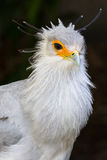 Портрет секретарши хищной птицы Стоковые Фотографии RF