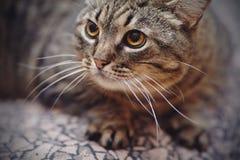 Портрет сердитого striped кота Стоковое Изображение RF