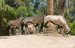 Портрет сернобыка, gazella сернобыка Стоковая Фотография