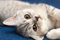 Портрет серого белого маленького великобританского кота с оранжевыми глазами стоковое фото