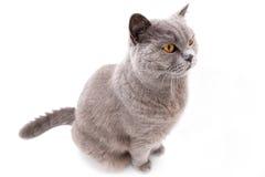 Портрет серого великобританского кота Стоковая Фотография