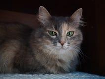 Портрет серого кота с зелеными глазами стоковые изображения