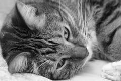 Портрет серого унылого striped кота лежа на кровати Стоковые Фото