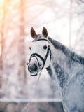 Портрет серого цвета резвится лошадь в зиме Стоковое Изображение RF