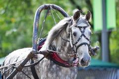Портрет серого экипажа управляя лошадью Стоковые Фотографии RF