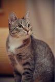 Портрет серого striped кота Стоковое Изображение