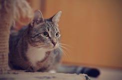 Портрет серого striped кота Стоковое Изображение RF