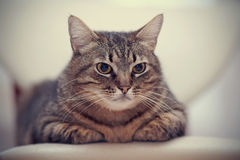 Портрет сердитого важного striped кота Стоковые Фото