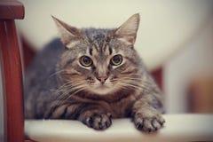 Портрет сердитого striped кота с желтыми глазами Стоковые Изображения RF