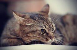 Портрет сердитого striped кота Стоковое фото RF