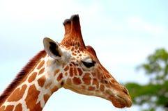Портрет сетчатого жирафа Стоковое Изображение