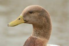 Портрет селезня утки смешанной породы мужского Стоковое фото RF