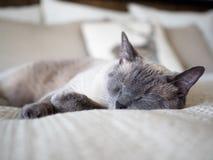 Портрет сиамского кота спать на Cream листах стоковое фото rf
