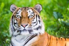 Портрет сибирского тигра Стоковые Изображения