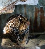 Портрет сидя оцелота в Galibi, Суринаме стоковая фотография