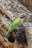 Портрет симпатичного сонного красно--breasted длиннохвостого попугая Стоковое фото RF