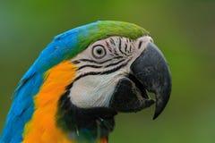 Портрет сине-и-желтой ары, ararauna Ara, большого юга - американского попугая с голубыми верхними частями и желтого цвета под час Стоковая Фотография RF