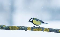 Портрет синицы птицы сидя на ветви в саде против t Стоковые Изображения RF