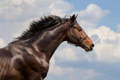 Портрет скакать лошадь Стоковая Фотография