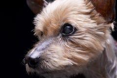Портрет слепого йоркширского терьера Стоковое Изображение