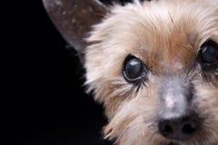 Портрет слепого йоркширского терьера Стоковое Фото