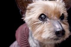 Портрет слепого йоркширского терьера Стоковые Изображения RF