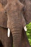 портрет слона быка стоковое фото
