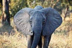 Портрет слона стоковое фото rf
