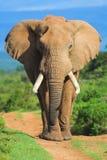 портрет слона Стоковое Изображение