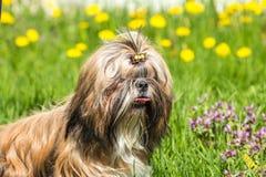 Портрет смешного Shih Tzu на предпосылке зеленой травы Стоковое Изображение RF