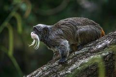 Портрет смешной бородатой обезьяны tamarin императора от Бразилии июня Стоковая Фотография